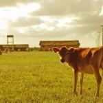 gado-viracopos